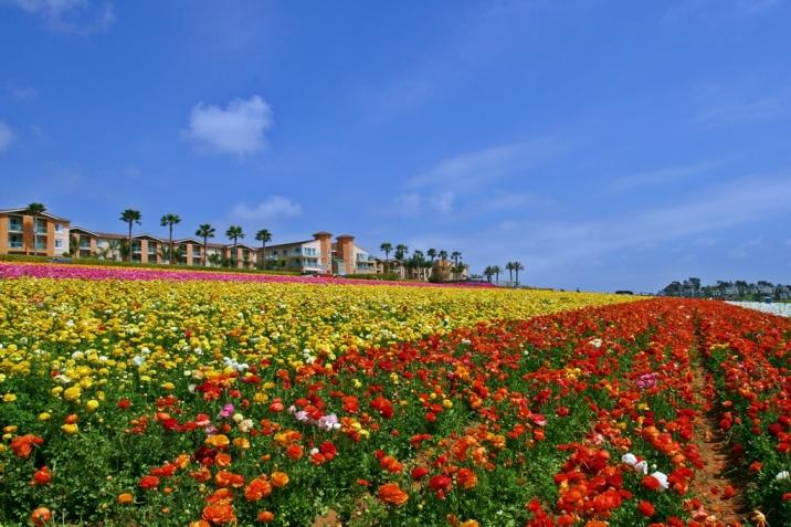 Carlsbad Real Estate Flower Fields